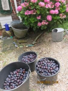 de oogst 33 kg pruimen